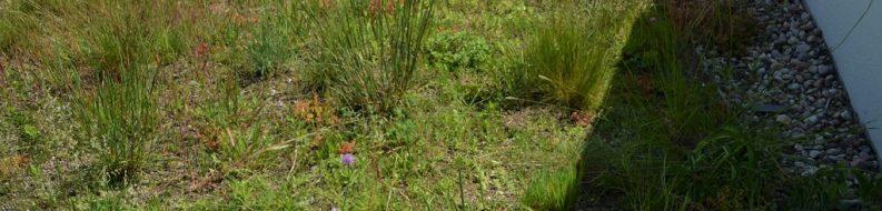 Łąka kwietna DE 44 - mieszanka nasion traw, ziół i rozchodników na dachu zielonym